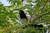 the magpie sitting in bushes of a tree. poster