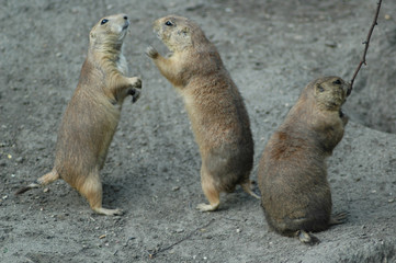 3 prairie dogs on haunches