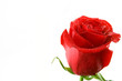 red rose with dew and space for text