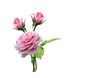 rosen und knospen