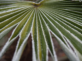 icy palm leaf