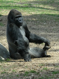 gorilla playing with toes poster