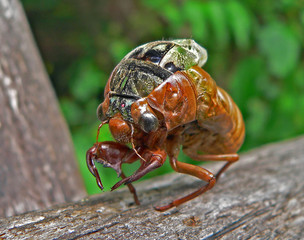 the aborning cicada (cicadetta pellosoma)
