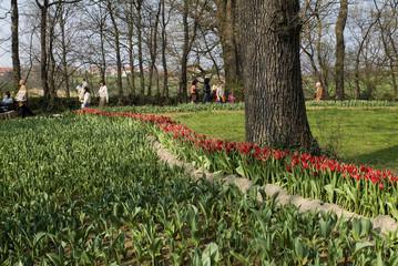 tulipani 5