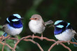 superb blue fairy wrens perching together