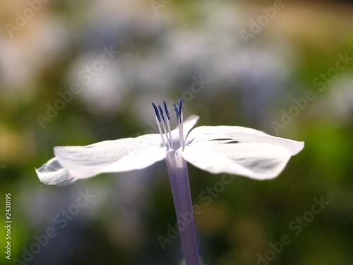 blue pollens