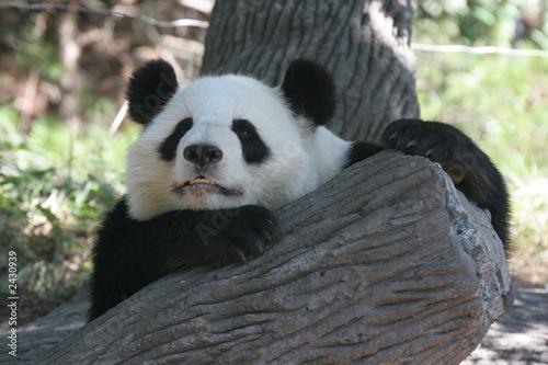 Keuken foto achterwand Panda panda