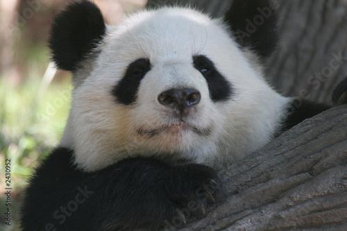 Foto op Aluminium Panda panda