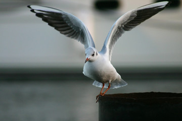 seagull flying.
