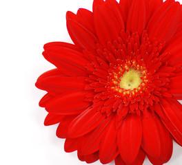blume flower