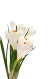 white crocus on white