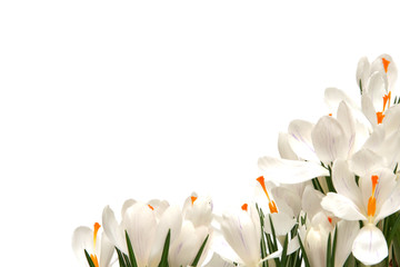 white crocus on white