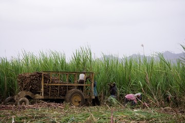 workers cutting sugar-cane
