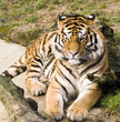 tiger watching