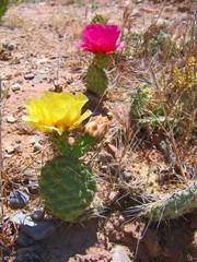 desert cactus roses