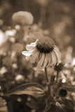 cone flower sepia tone poster