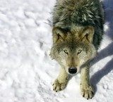 gray wolf looking up at you poster