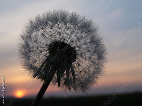 romantic dandelion sunset - 2466587