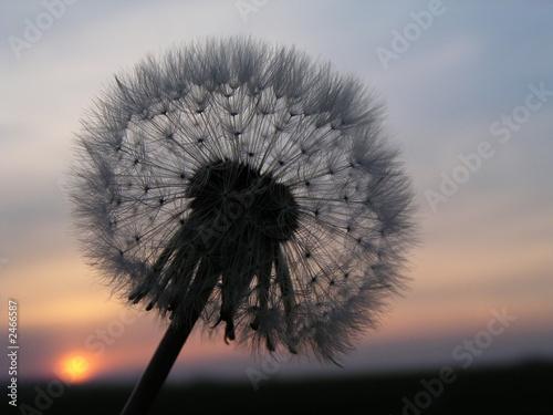 romantic dandelion sunset - 2466587