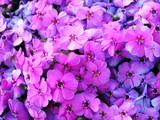 image full of violet flowers poster