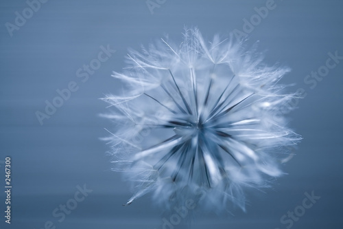 In de dag Paardebloem dandelion seed