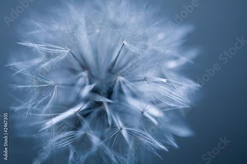 dandelion fluff 2