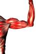 musculos de los brazos
