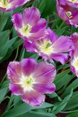 violet dutch tulips