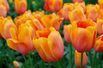 nice orange tulips