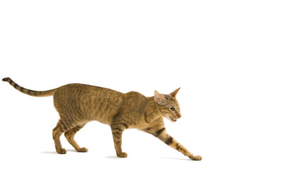 oriental cat crawling isolated on white