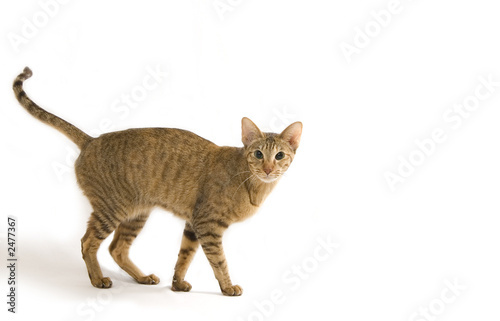 oriental cat portrait isolated on white