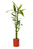 lucky bamboo plant poster