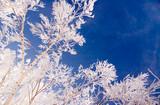 hoar frost tree poster