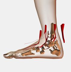las venas del pie
