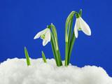 white snowdrop - 2482542