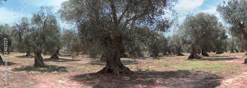 Papiers peints Oliviers alberi ulivo