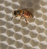bee, wax poster
