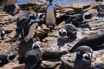 jackass penguin #8