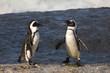jackass penguin #36