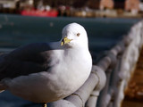 seagull  portrait - perched on pole poster