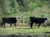 white faced cattle poster
