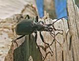 beetle carabus (calosoma sycophanta) poster