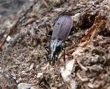 beetle carabus (pterostichus interruptus) poster