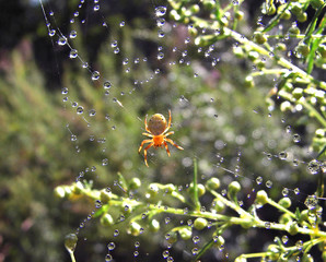 spider and dew.