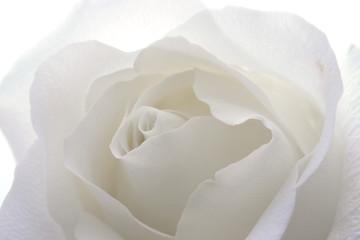 rosa bianca 01