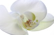 orchid white pure new sepal pistil bloom pretty
