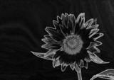 tournesol noir et blanc