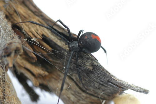 redback spider - 2505931