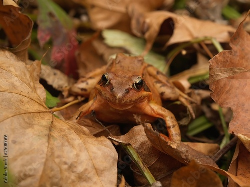brown frog in the fallen leaves