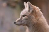 beautiful fox poster